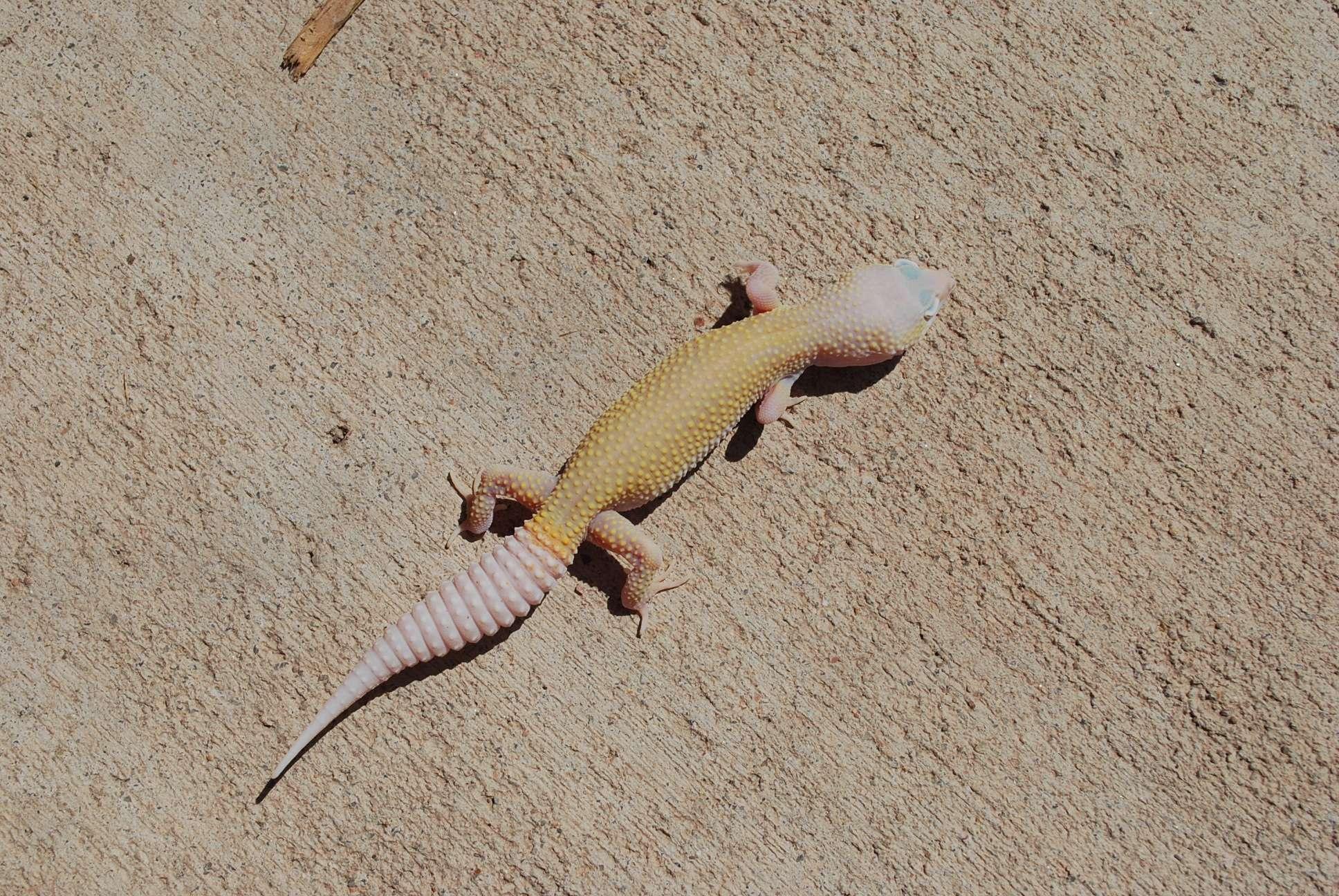 Leopard Gecko Genetics Calculator